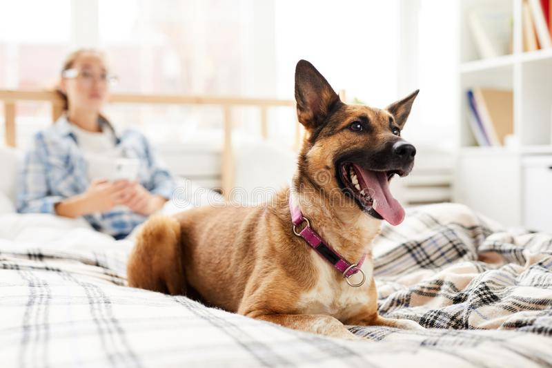 Счастливая собака сидя на кровати стоковые фотографии rf