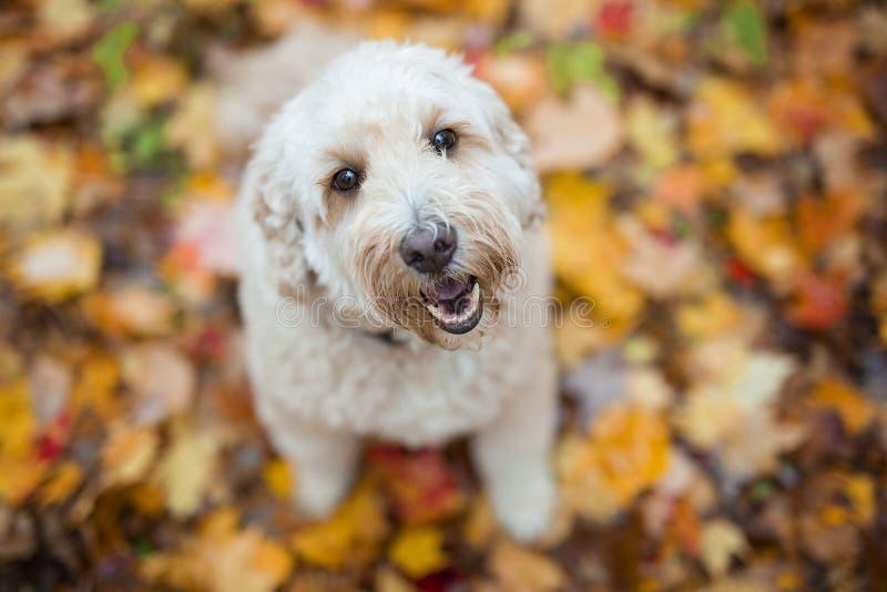 Счастливая собака goldendoodle снаружи в сезоне осени стоковые изображения
