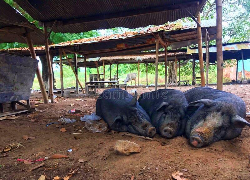 Счастливая сонная свинья на грязи стоковая фотография
