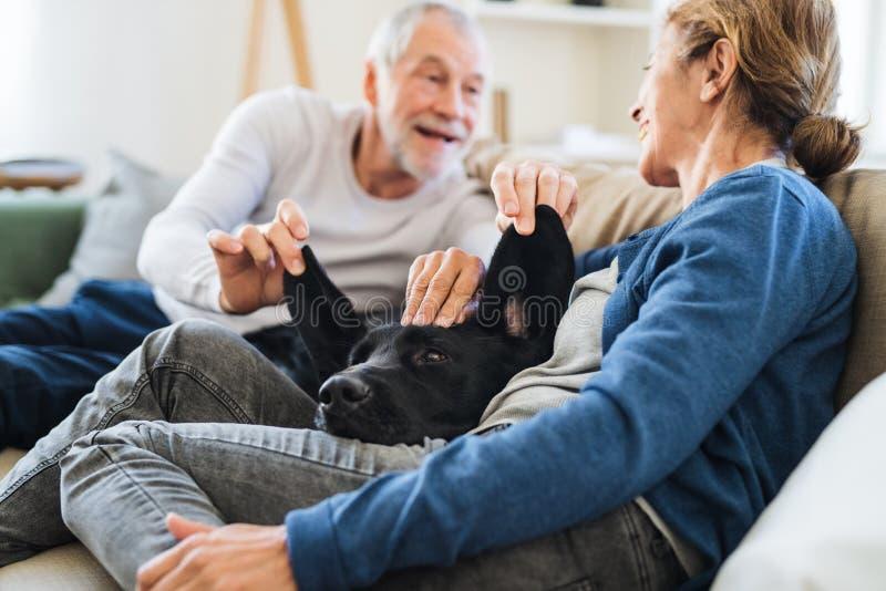 Счастливая старшая пара сидя на софе внутри помещения дома, играющ с собакой стоковые изображения rf
