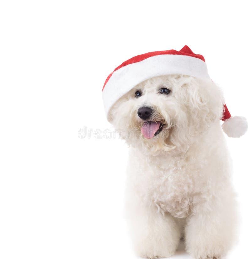 Счастливое усаженное frise bichon Санта Клауса стоковая фотография rf