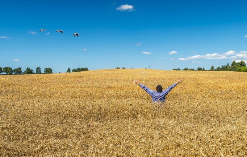 Счастливое farrmer среди богатого жать поля пшеницы стоковые фотографии rf