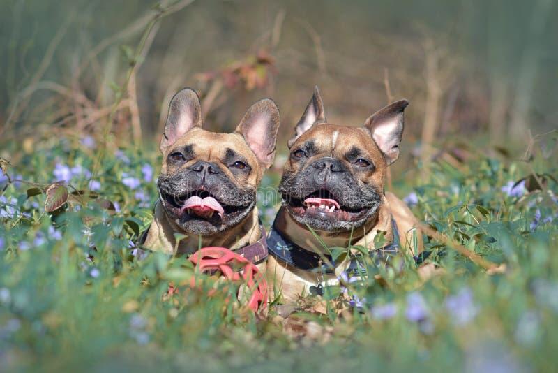 Счастливые коричневые собаки французского бульдога лежа на земле леса между зацветая цветками весны стоковые фотографии rf