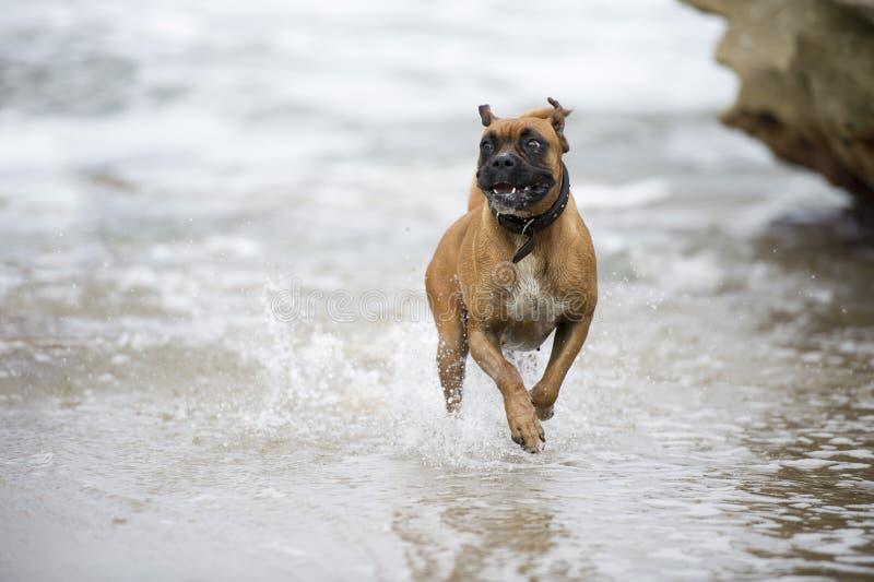 Счастливый боксер пляжа стоковые фото