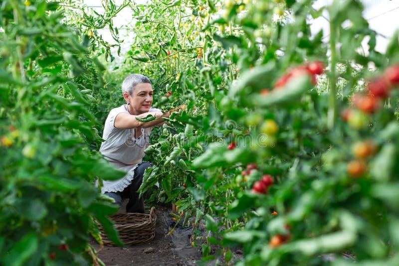 Счастливый женский фермер работая в парнике стоковые изображения rf