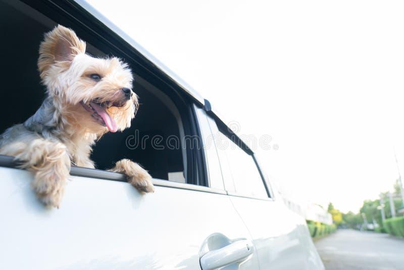 Счастливый йоркширский терьер собака висит язык из его m стоковое изображение rf