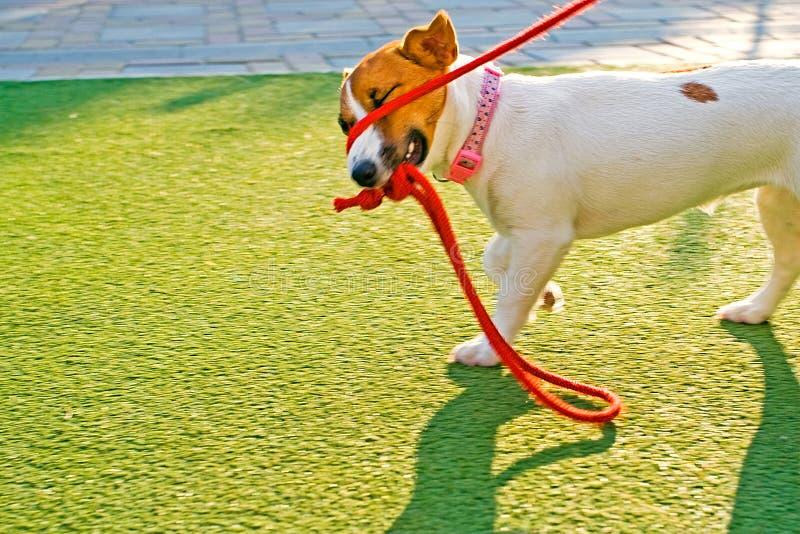 Счастливый щенок поднимает Рассела домкратом играя с красной веревоч стоковое фото