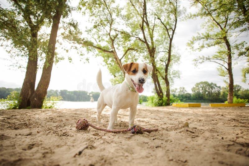 Счастливый щенок терьера Джека Рассела играя с веревочкой на пляже стоковые фотографии rf