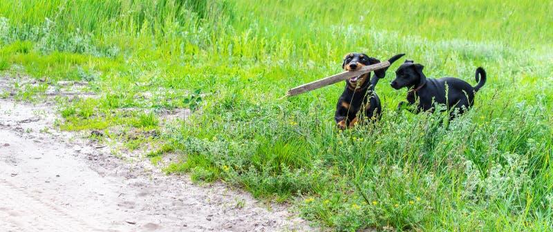2 счастливых игры собак с ручкой на сельской местности, указателем места заполнения стоковое изображение rf