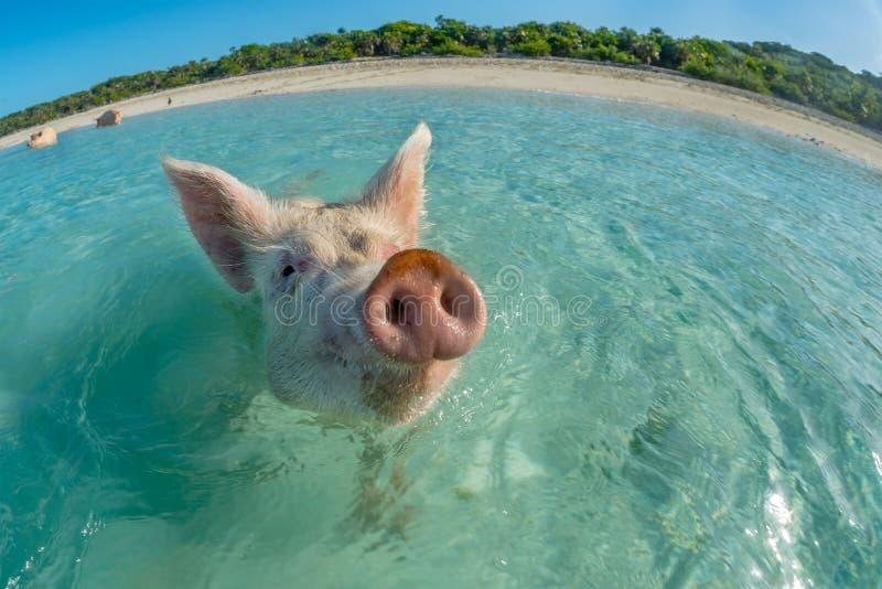 Счастливая свинья заплывания стоковое изображение rf