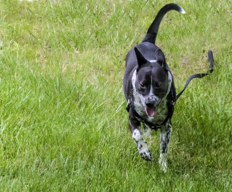 Счастливая собака бежать свободно стоковое изображение rf