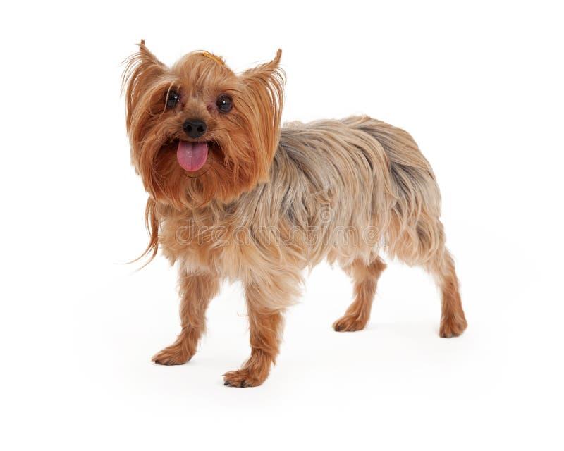 Счастливая собака йоркширского терьера стоя с открытым ртом стоковые фотографии rf