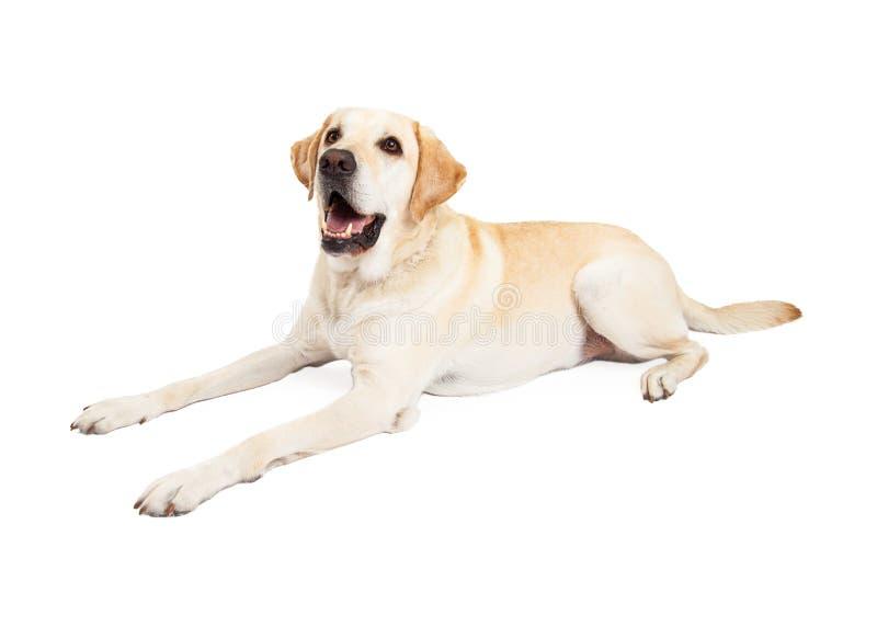 Счастливая собака Лабрадора кладя для того чтобы встать на сторону стоковое изображение rf