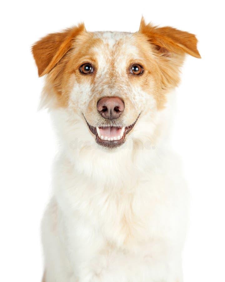 Счастливая усмехаясь собака Crossbreed чабана Коллиы границы стоковое фото