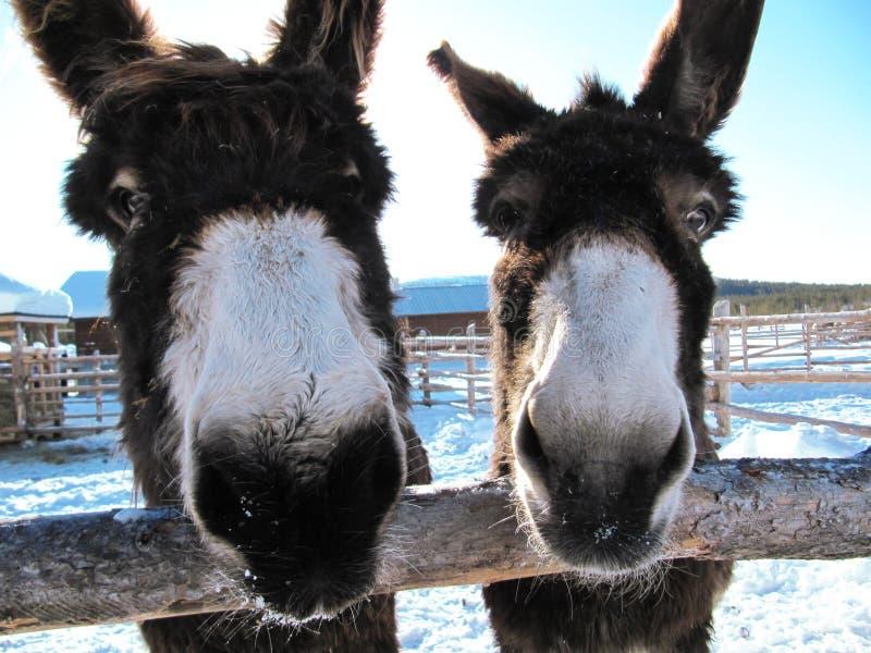 Счастливые ослы стоковая фотография