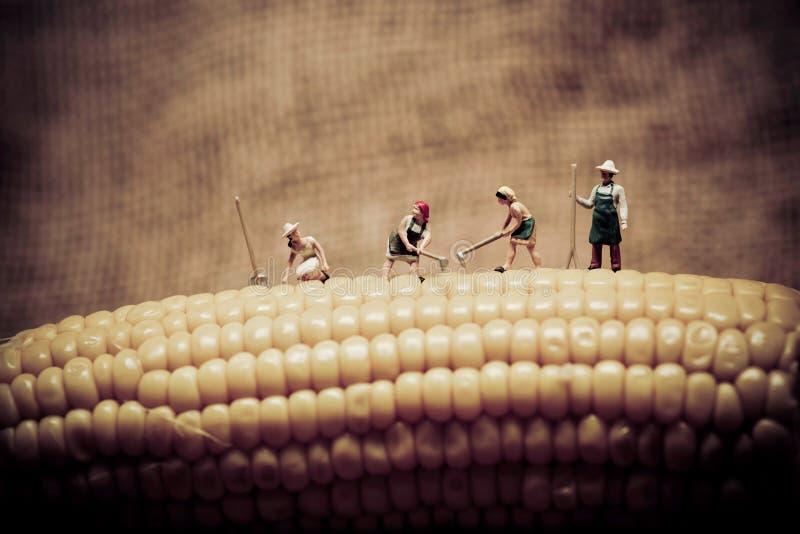 Счастливые фермеры жать мозоль Фото макроса стоковые изображения rf