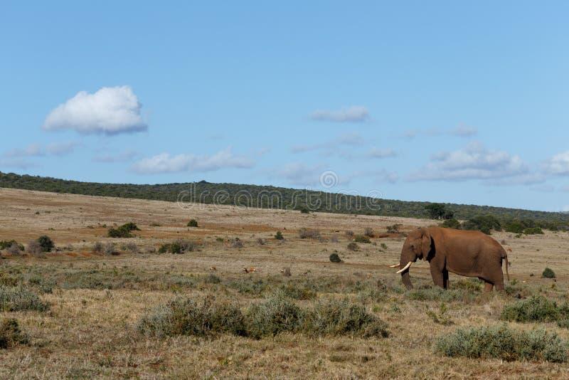 Счастливый африканский слон стоя в открытом поле стоковое фото rf