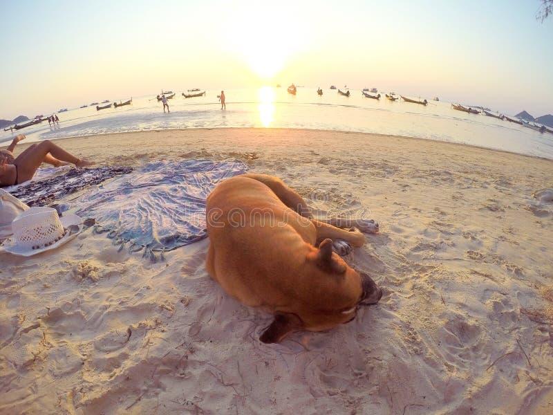 Счастливый сон моя собака, в navy& x27; пляж s стоковое изображение rf