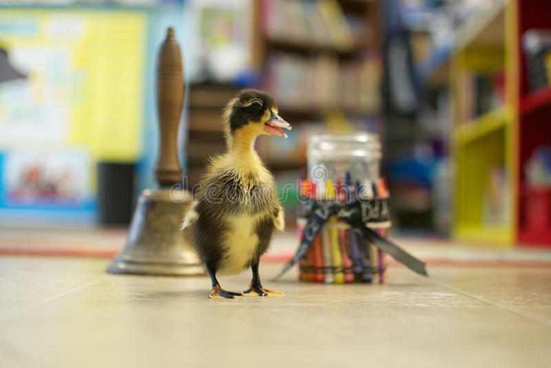 Счастливый утенок посещает школу стоковые фотографии rf