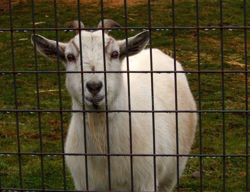 Счастлив-Идти-удачливая коза Билли стоковая фотография