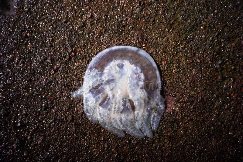 Счеснный тем медузам на береге на Kuanniang, Таиланде стоковая фотография rf