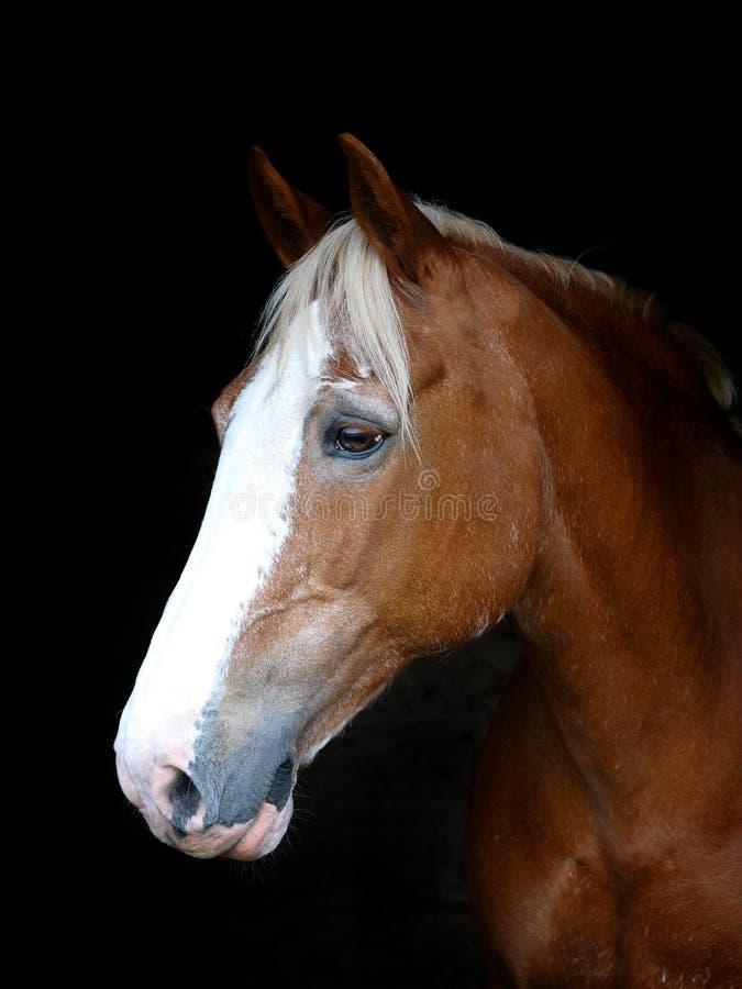 Съемка головы лошади стоковые изображения rf