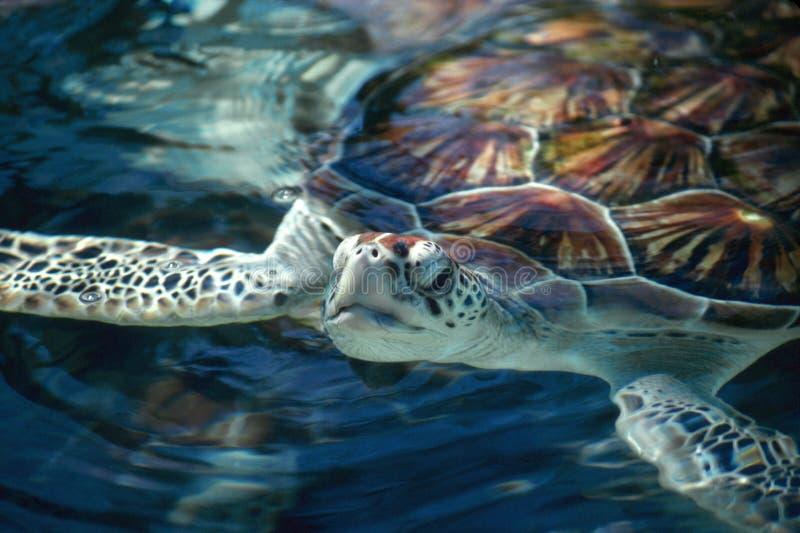 Съемка головы морской черепахи заплывания стоковое изображение