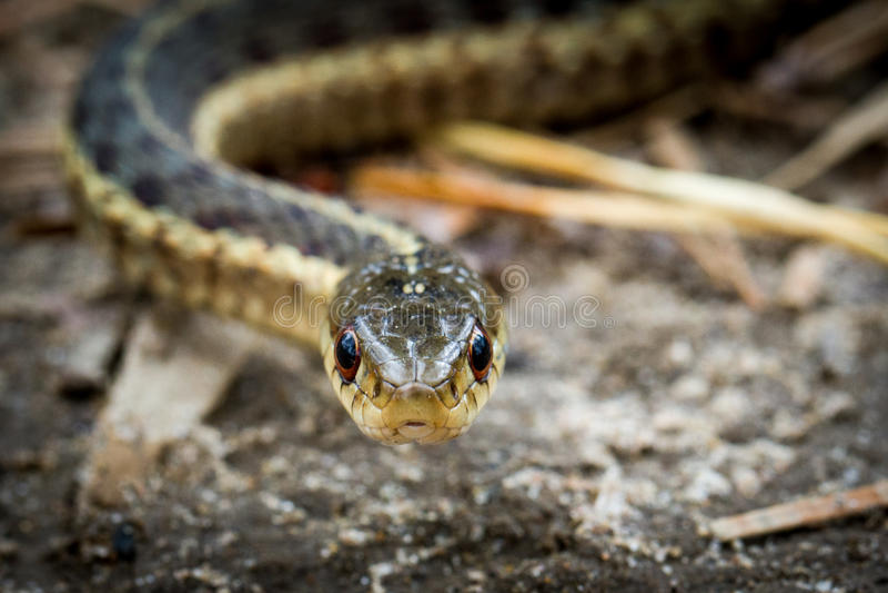 Съемка головы змейки подвязки стоковая фотография