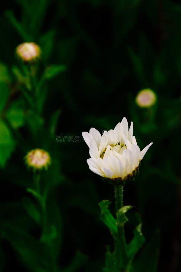 Съемка крупного плана вертикальная красивого белого цветка с запачканной естественной предпосылкой стоковая фотография