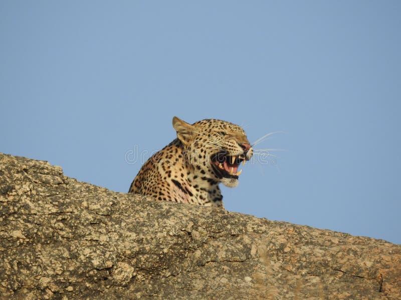 Съемка крупного плана леопарда стоковые изображения