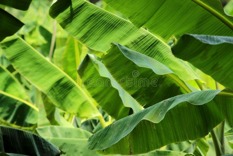 Съемка крупного плана лист банана стоковое фото