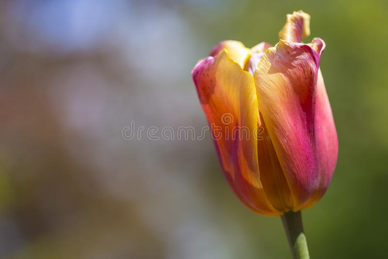 Съемка крупного плана сиротливых национальных голландских тюльпанов выбранной съемки видов против запачканной предпосылки стоковая фотография rf