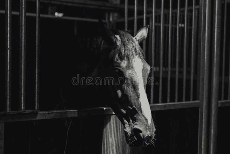 Съемка крупного плана greyscale красивой лошади в клетке металла стоковые изображения rf