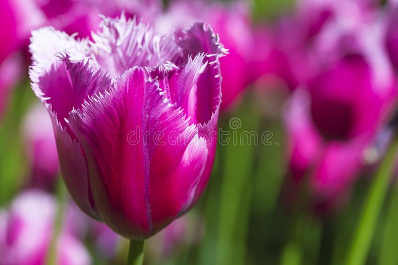 Съемка макроса крупного плана классических розовых тюльпанов Selectives против запачканной предпосылки стоковые изображения