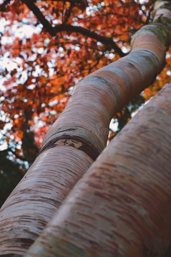Съемка макроса оранжевого текстурированного дерева осени стоковое фото