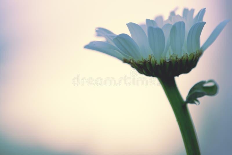 Съемка макроса цветка белой маргаритки изолированного на предпосылке нерезкости стоковые изображения