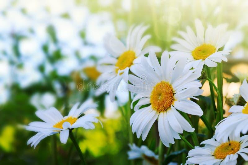 Съемка макроса цветков белой маргаритки в свете захода солнца стоковое фото