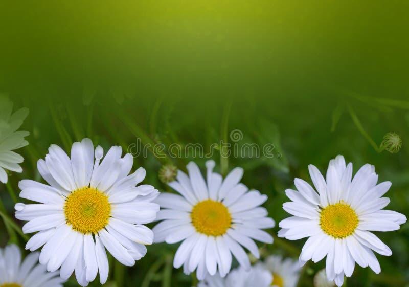 Съемка макроса цветков белой маргаритки изолированных на зеленой предпосылке стоковое фото