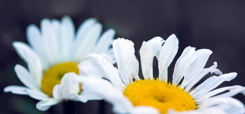 Съемка макроса цветков белой маргаритки изолированных на серой предпосылке стоковая фотография