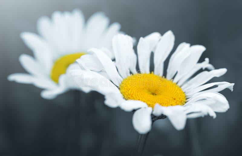 Съемка макроса цветков белой маргаритки изолированных на серой предпосылке стоковое изображение