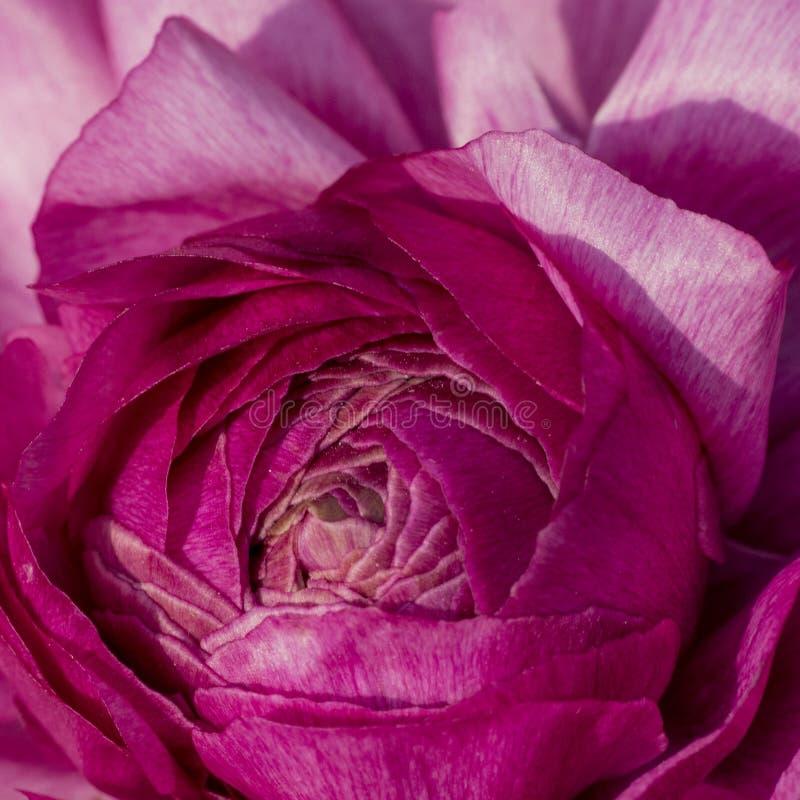 Съемка макроса цветков - поднял стоковое изображение rf
