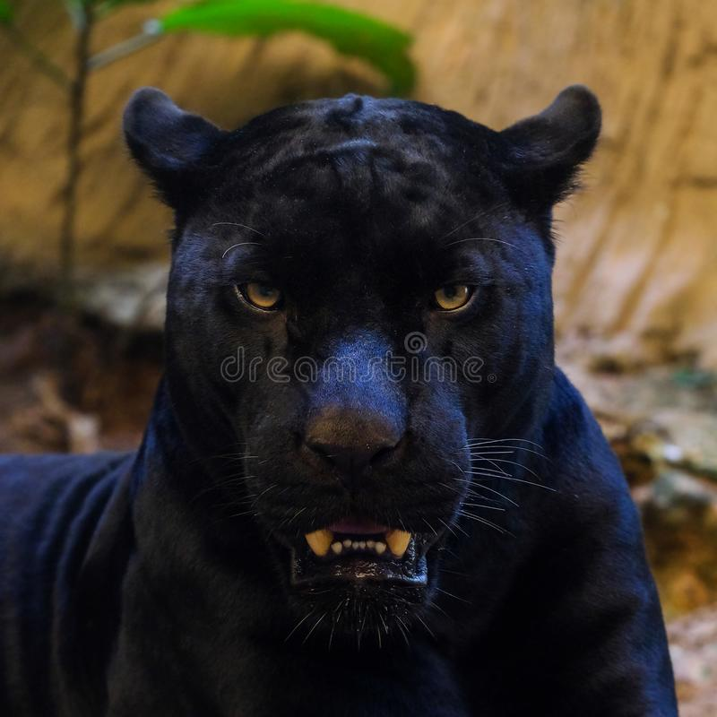 Съемка черной пантеры стоковые изображения rf