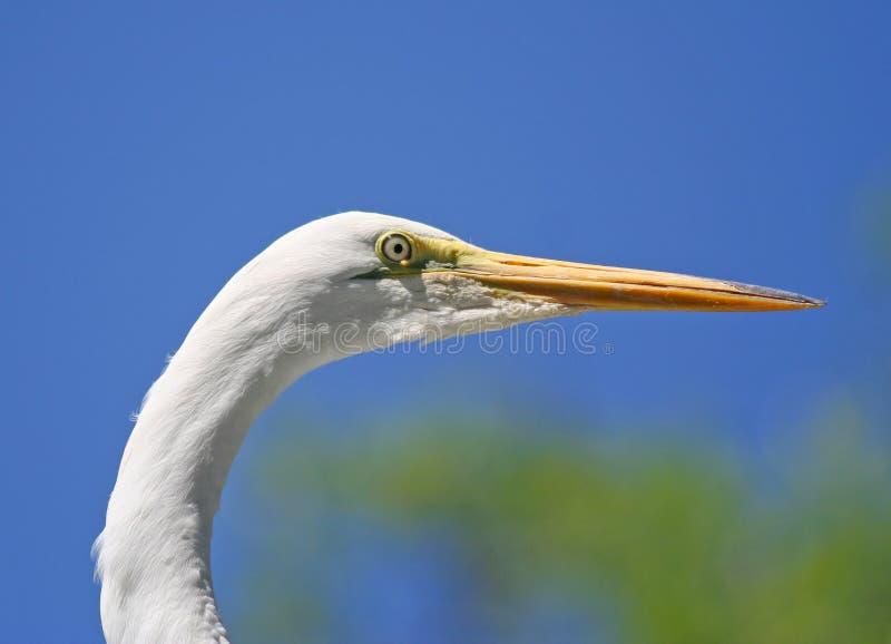 Съемка Egret головная стоковые изображения rf