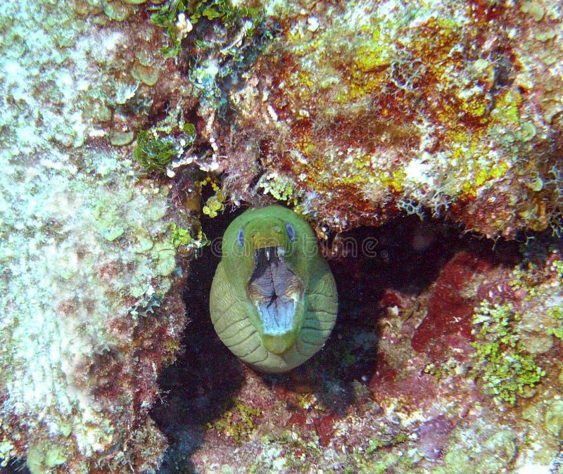 съемка moray eel головная стоковые изображения