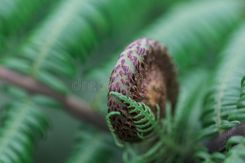 Съемки конца-вверх зеленых и черных листьев папоротника завили стоковые изображения