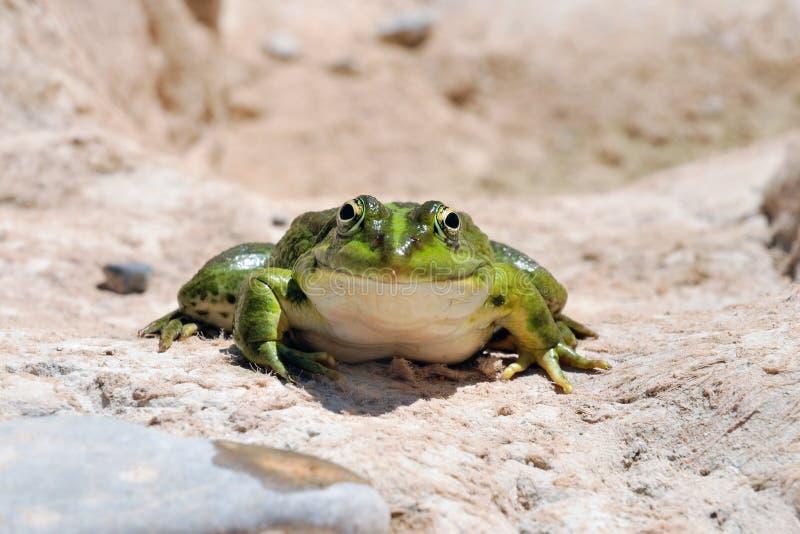 Съестная лягушка (Pelophylax esculentus) или зеленая лягушка стоковое изображение rf
