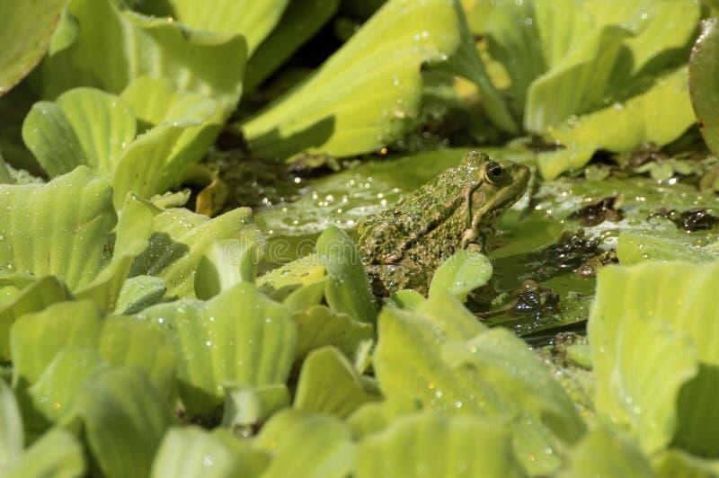 Съестные зеленые растения лягушки в пруде стоковые фотографии rf