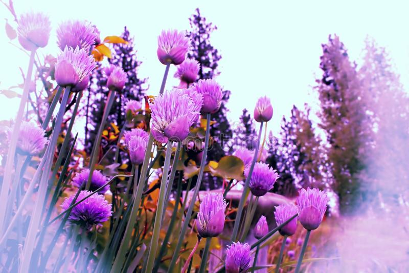 Съестные Chives цветка стоковые изображения rf