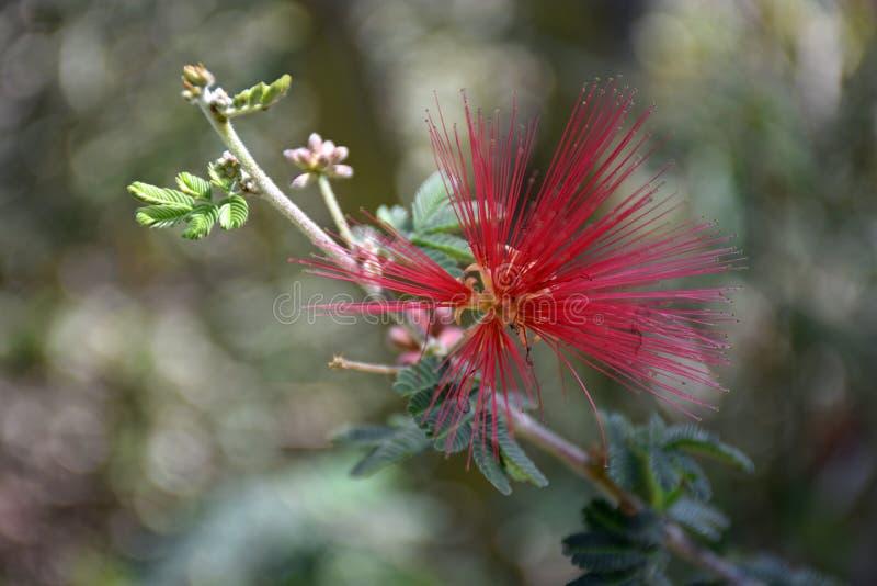 Сыпня феи Baja от Нижней Калифорнии стоковая фотография
