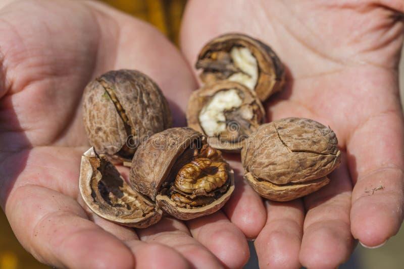 Сырцовые грецкие орехи стоковое изображение
